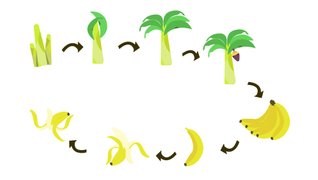 LIFE CYCLE OF BANANA.png